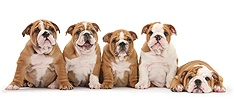 Five Bulldog pups, 8 weeks old