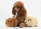 Red toy Poodle dog and red and yellow Guinea pigs