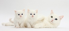 Mother white cat and kittens