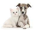Brindle-and-white Whippet pup with white kitten