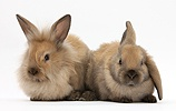 Young sandy rabbits