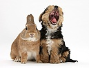 Yorkie pup and rabbit