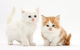 White and ginger-and-white kittens