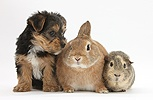 Yorkie-cross pup with rabbit and Guinea pig