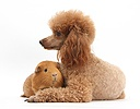 Red toy Poodle dog and red Guinea pig