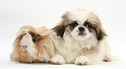 Pekinese pup and Guinea pig