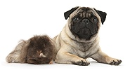 Fawn Pug dog and shaggy Guinea pig
