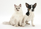Birman cat and Jack Russell