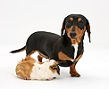 Tricolour Dachshund and Guinea pig