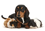 Tricolour Dachshund and Guinea pigs