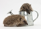 Young Hedgehogs playing in metal watering can