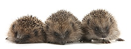 Three young Hedgehogs