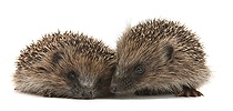Two young Hedgehogs