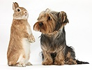 Yorkie and rabbit