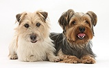 Jack Russell and Yorkie