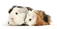 Long-haired Guinea pig mother and baby