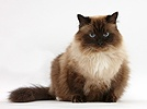 Birman-cross cat