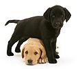 Black Labrador pup with Yellow Labrador pup