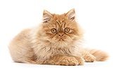 Ginger Persian male kitten