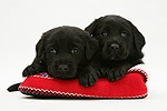 Two Black Labrador Retriever puppies in a knitted slipper