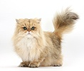 Golden Chinchilla Persian cat