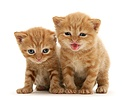 British shorthair red tabby kittens. One miaowing