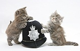 Maine Coon kittens playing with a policeman's helmet