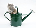Maine Coon kittens playing in a watering can