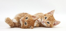 Two ginger kittens lying together on their sides