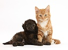 Ginger kitten and red brindle Toy Poodle pup