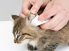 Wiping the ear of a tabby Maine Coon kitten