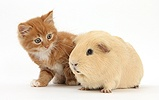 Ginger kitten, 7 weeks old, and yellow Guinea pig