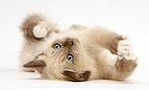 Birman-cross kitten playfully rolling