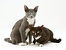 Blue-and-white and black-and-white Burmese-cross cats