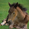 British Show Pony colt foal, dozing