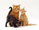 Ginger cat and two kittens