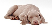 Weimaraner pup, 9 weeks old, asleep, chin on floor