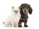 Blue-point kitten and blue-and-tan Dachshund pup