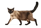 Seal point Siamese-cross cat