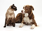 Chocolate Border Collie and Siamese cat