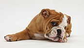 Bulldog pup, 11 weeks old, lying with chin on the floor