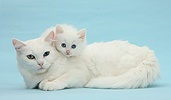 Mother white cat and kitten on blue background