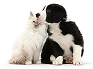 Blue-point kitten and black-and-white Border Collie puppy
