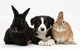 Border Collie pup and rabbits