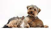 Yorkie and baby bunnies