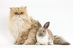 Golden Chinchilla Persian cat and rabbit