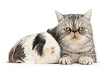 Long-haired Guinea pig and Silver tabby Exotic cat