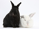 White rabbit with black rabbit