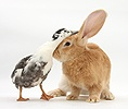 Flemish Giant Rabbit and Call Duck
