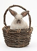 Baby colourpoint rabbit in a wicker basket